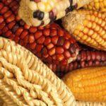 Genveränderungen am Mais sind heute Gang und Gebe